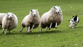 sheepdog5